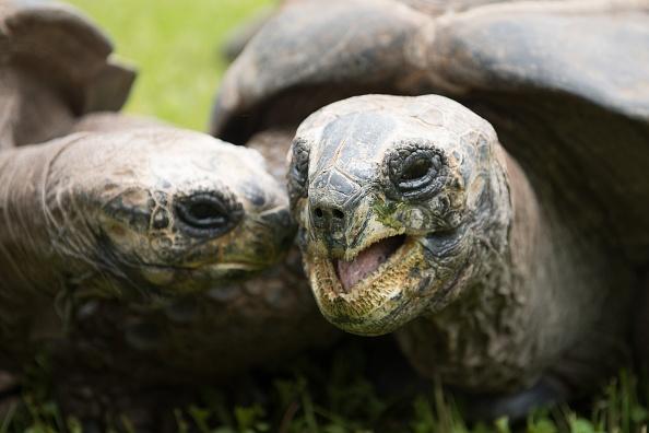 tortugas gigantes carnívoras