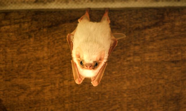 murciélago fantasma