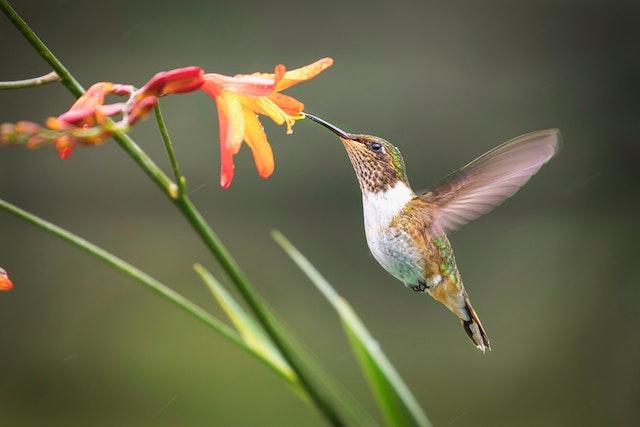 colibríes hembra
