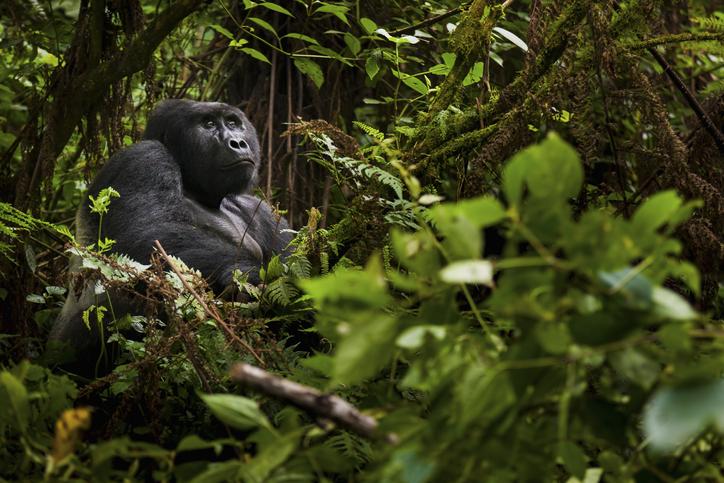 animales en peligro de extinción gorila de montaña