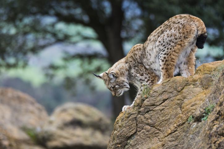 animales en peligro de extinción lince ibérico