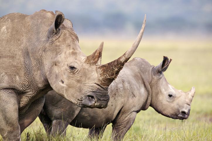 animales en peligro de extinción rinoceronte blanco