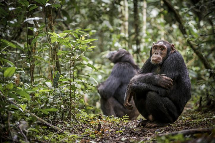 chimpancé común en su hábitat