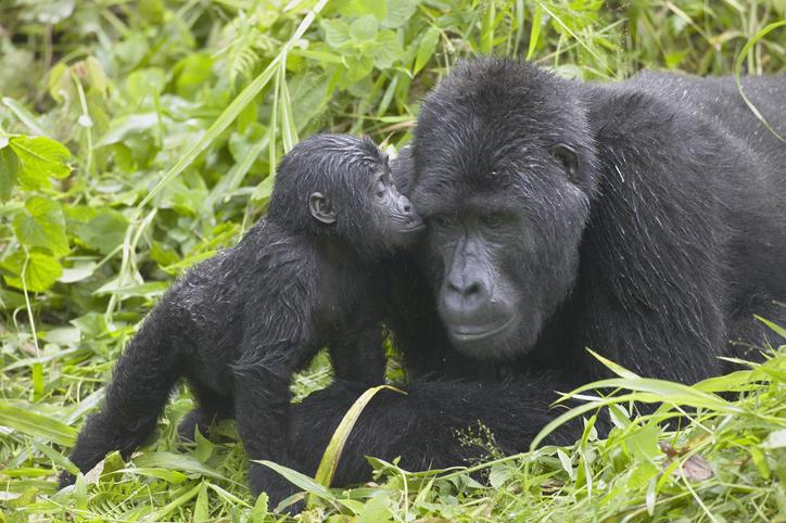 cómo viven los gorilas