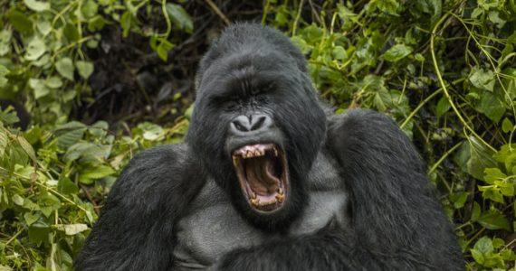 curiosidades sobre los gorilas