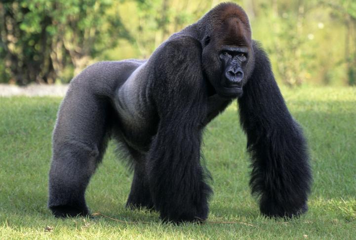 datos curiosos sobre los gorilas