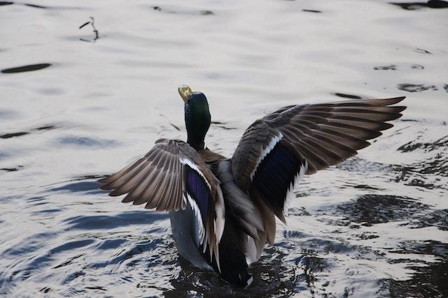 patos australianos groserías