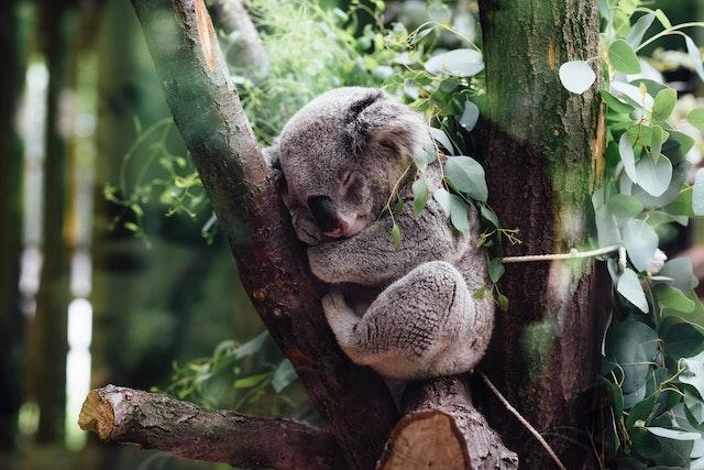 retrovirus koala