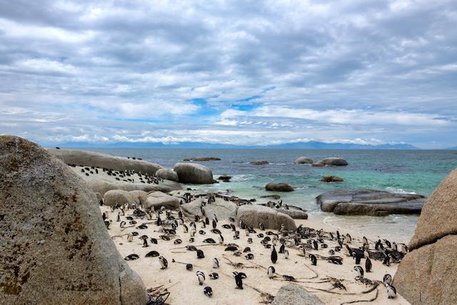 pingüinos africanos