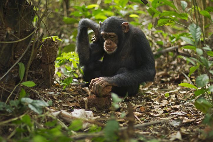 casos de chimpancés con lepra