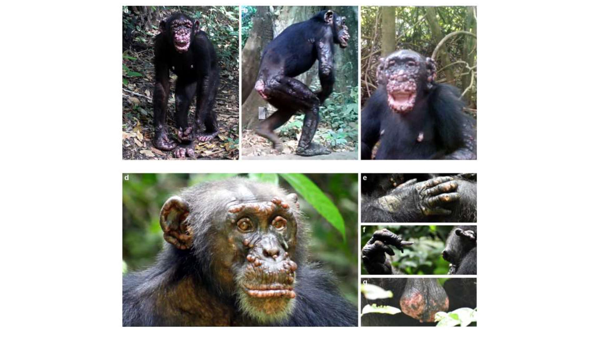 chimpancés con casos de lepra