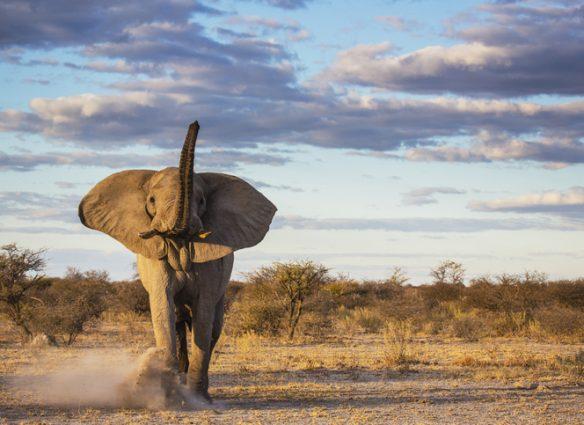 elefantes sin colmillos