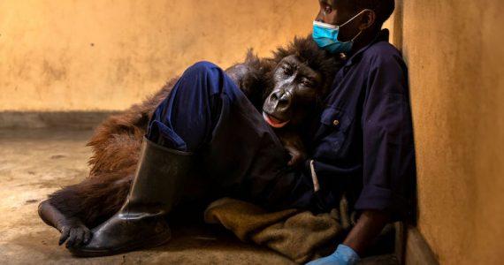 Ndakasi gorila