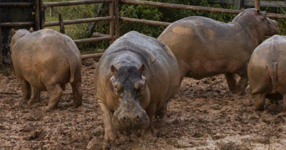 hipopótamos Colombia