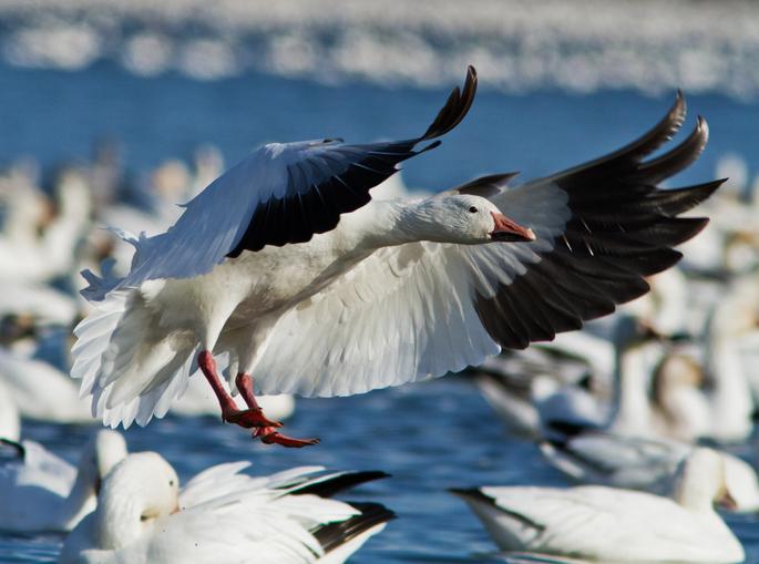 por qué existe la migración de aves