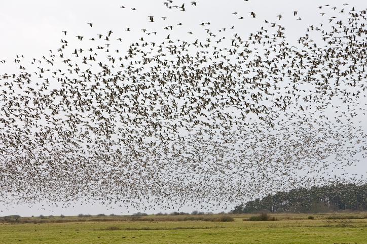 por que las aves migran
