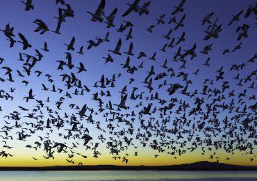 por qué llegan aves migratorias a méxico